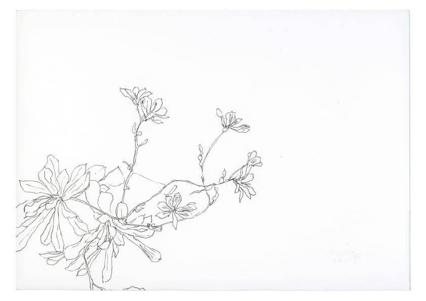 Bitterwurz (2019), Tuschezeichnung 20 x 30 cm 28