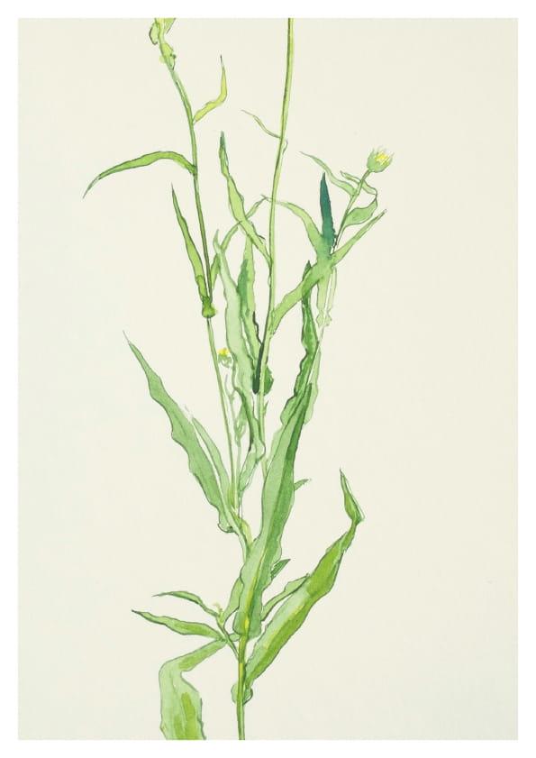 Ringelblume (2014), Aquarell 33 x 42 cm 2