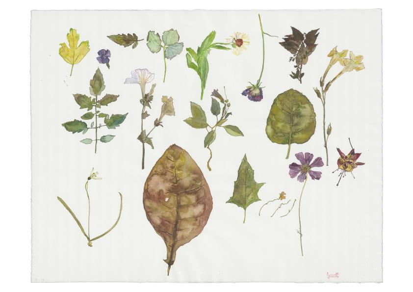 Herbarium (2016), Aquarell 50 x 65 cm 39