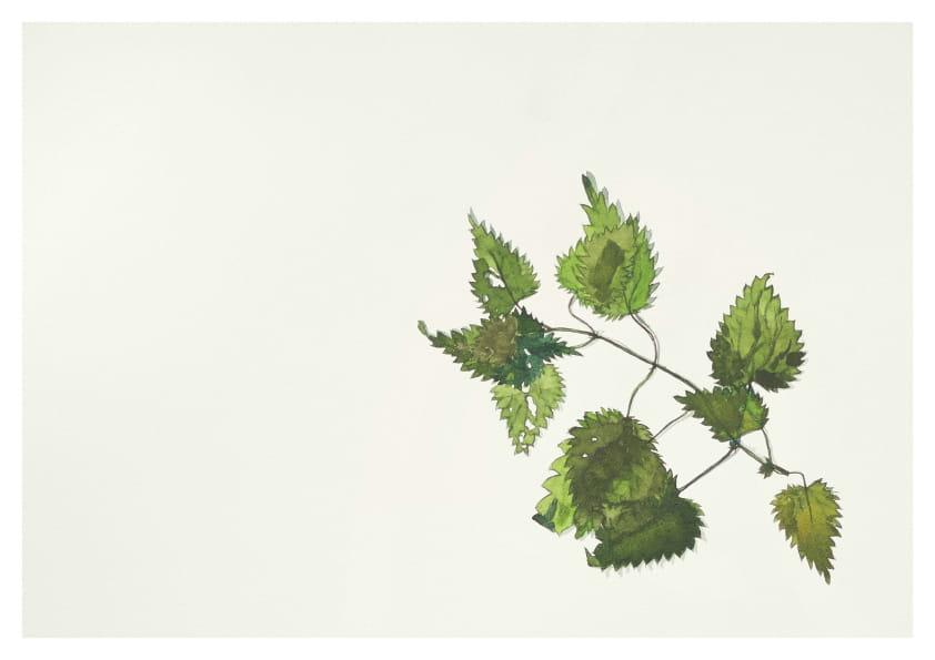 Brennnessel, (Mai 2020), Aquarell 30 x 40 cm 44