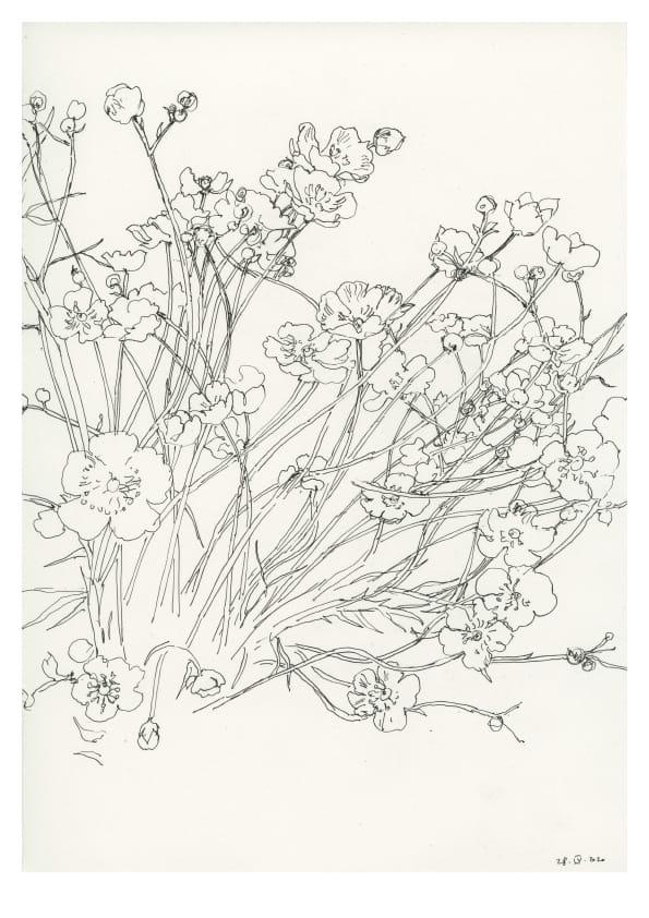 Butterblumen (April 2020), Tuschezeichnung 30 x 20 cm 47