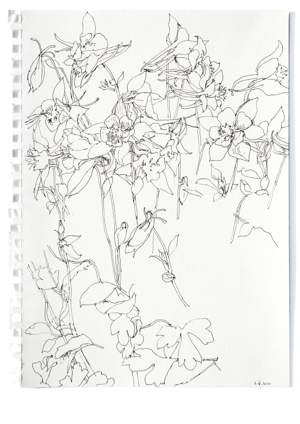 Akelei (Mai 2020), Tuschezeichnung 40 x 30 cm 50