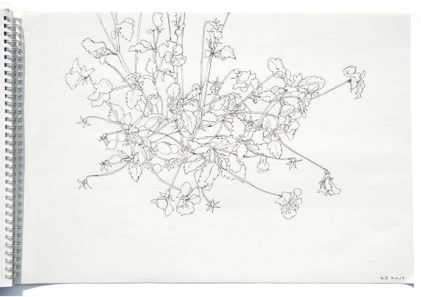 Kleine Stiefmütterchen (April 2020), Tuschezeichnung 30 x 40 cm 55