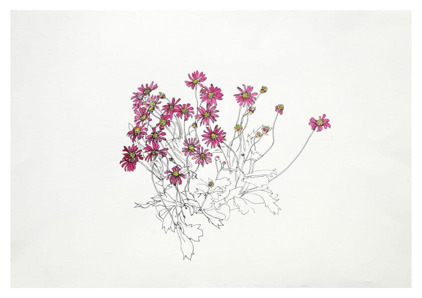 Aschenblumen (April 2020), kolorierte Tuschezeichnung 30 x 40 cm 58