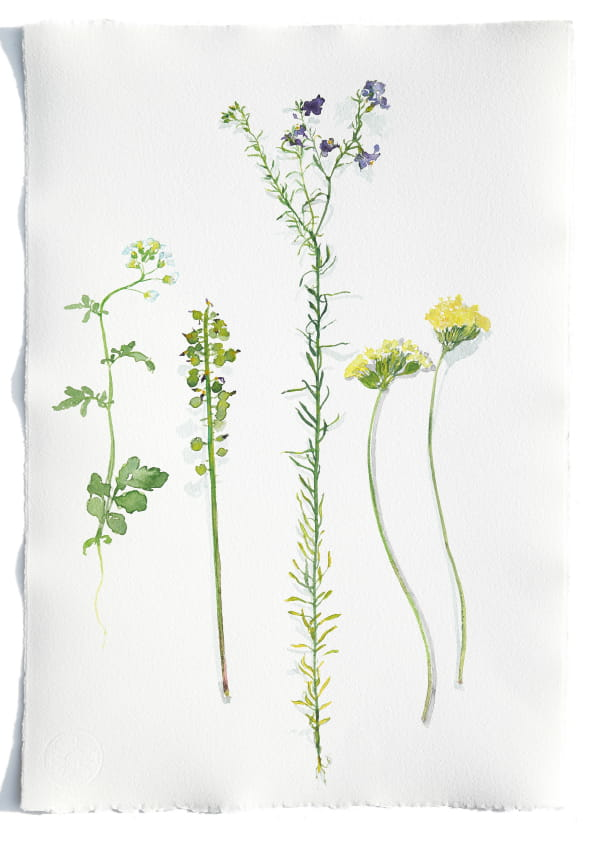 Duftsteinrich, verblühte Traubenhyazinthe, Lein, Schlüsselblumen (April 2020), Aquarell 35 x 50 cm 86