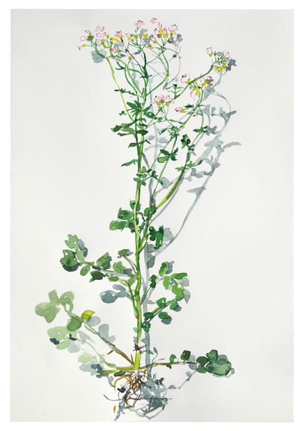 Ein unbekanntes Waldkraut (April 2020), Aquarell 35 x 50 cm 90