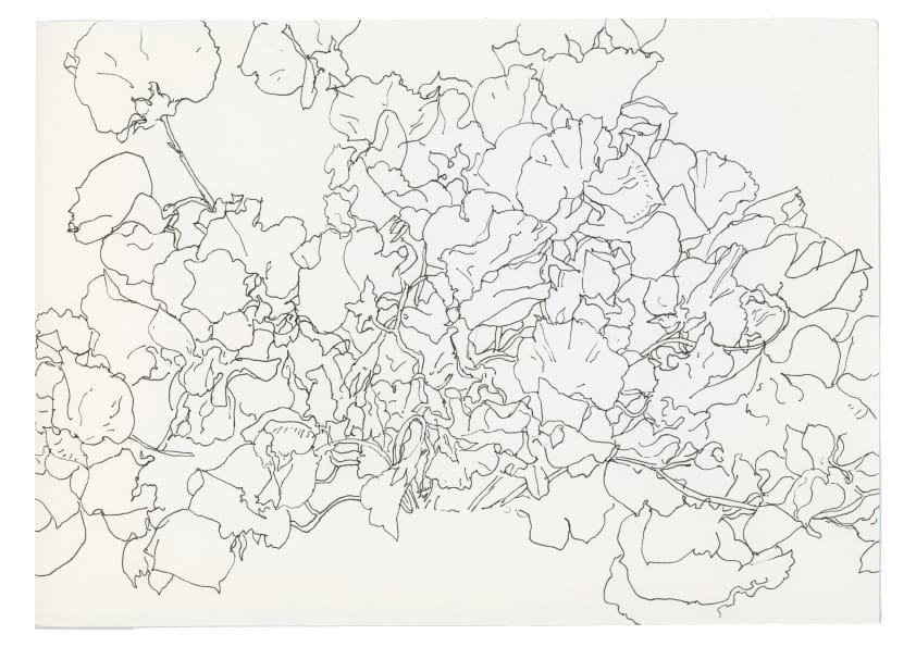 Alpenveilchen (April 2020), kolorierte Tuschezeichnung 30 x 40 cm 98